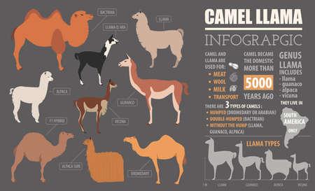 alpaca animal: Camel, llama, guanaco, alpaca  breeds infographic template. Animal farming. Flat design. Vector illustration Illustration