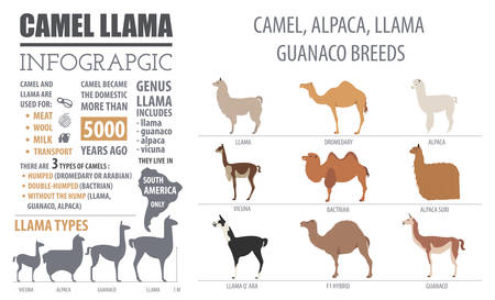 Camel, llama, guanaco, alpaca  breeds infographic template. Animal farming. Flat design. Vector illustration Ilustração