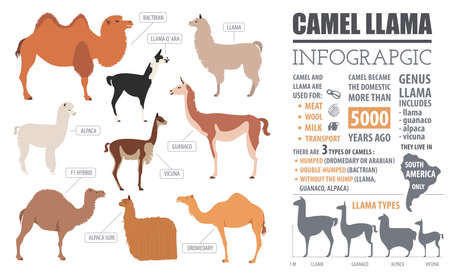 goof: Camel, llama, guanaco, alpaca  breeds infographic template. Animal farming. Flat design. Vector illustration Illustration