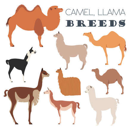 alpaca animal: Camel, llama, guanaco, alpaca breeds icon set. Animal farming. Flat design. Vector illustration Illustration
