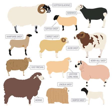 Sheep breed icon set. Farm animal. Flat design. Vector illustration