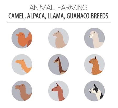 goof: Camel, llama, guanaco, alpaca breeds icon set. Animal farming. Flat design. Vector illustration Illustration