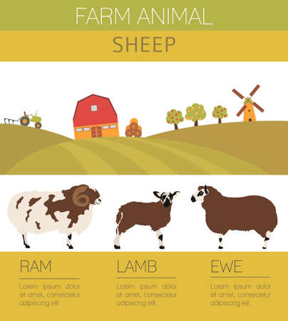 pet breeding: Sheep farming infographic template. Ram, ewe, lamb family. Flat design. Vector illustration Illustration