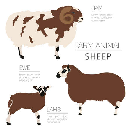 Sheep farming infographic template. Ram, ewe, lamb family. Flat design. Vector illustration Illustration