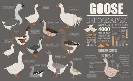 Poultry farming infographic template. Goose breeding. Flat design. Vector illustration Illustration