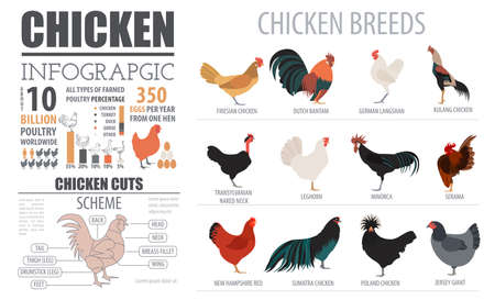 Poultry farming infographic template. Chicken breeding. Flat design. Vector illustration Çizim