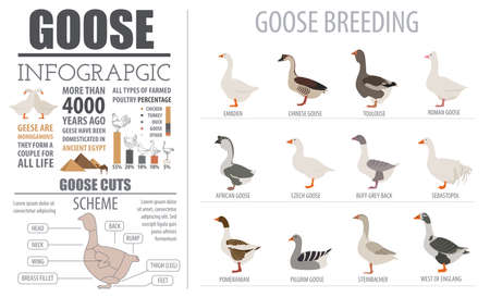 toulouse: Poultry farming infographic template. Goose breeding. Flat design. Vector illustration Illustration