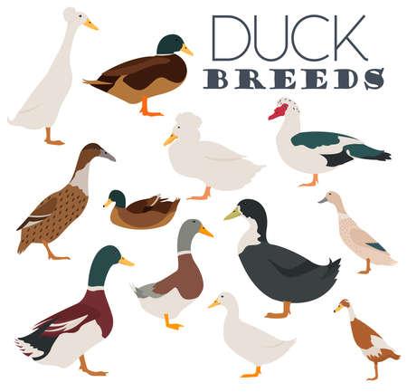 breeds: Poultry farming. Duck breeds icon set. Flat design. Vector illustration
