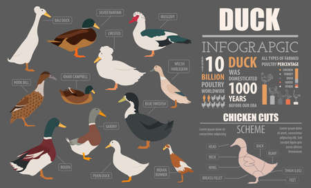 Poultry farming infographic template. Duck breeding. Flat design. Vector illustration