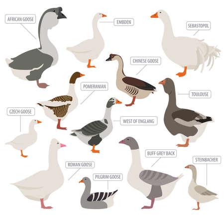 Poultry farming. Goose breeds icon set. Flat design. Vector illustration