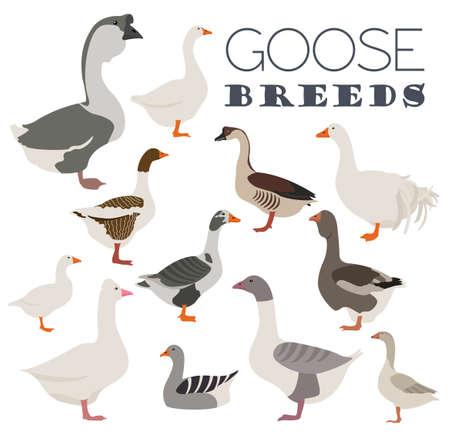 breeds: Poultry farming. Goose breeds icon set. Flat design. Vector illustration