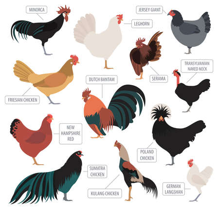 Poultry farming. Chicken breeds icon set. Flat design. Vector illustration