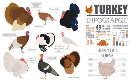 Poultry farming infographic template. Turkey breeding. Flat design. Vector illustration