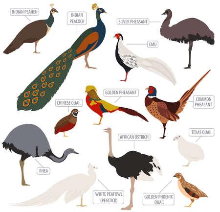 Poultry farming. Peafowl, ostrich, pheasant, quail breeds icon set. Flat design. Vector illustration Imagens - 67393338