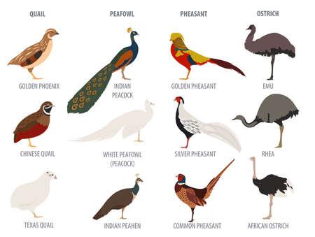 common peafowl: Poultry farming. Peafowl, ostrich, pheasant, quail breeds icon set. Flat design. Vector illustration
