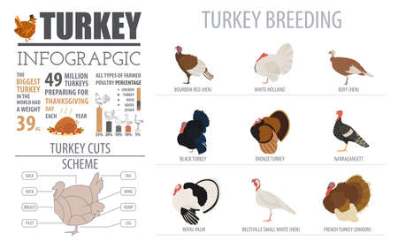 buff: Poultry farming infographic template. Turkey breeding. Flat design. Vector illustration