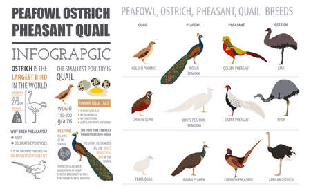 Poultry farming infographic template. Peafowl, ostrich, pheasant, quail breeding. Flat design. Vector illustration