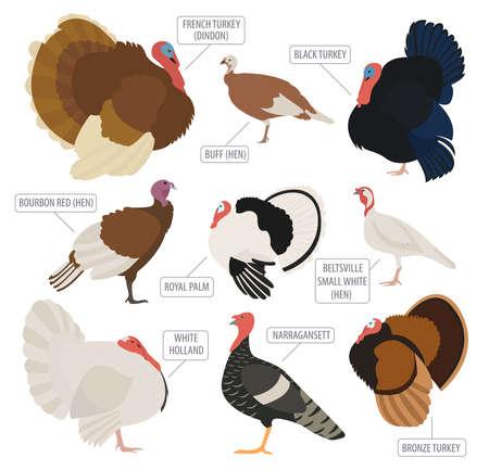 Poultry farming. Turkey breeds icon set. Flat design. Vector illustration