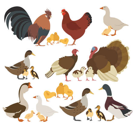 Poultry farming. Chicken, turkey, duck, goose family isolated on white. Vector illustration