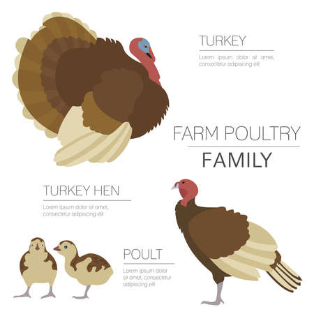 Poultry farming. Turkey family isolated on white. Flat design. Vector illustration