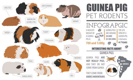 Guinea Pig breeds infographic template, icon set flat style isolated. Pet rodents collection. Create own infographic about pets. Vector illustration