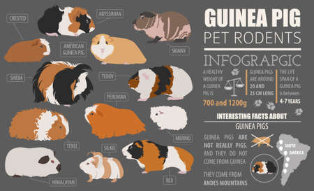 Guinea Pig breeds infographic template, icon set flat style isolated. Pet rodents collection. Create own infographic about pets. Vector illustration Stock Vector - 78504276