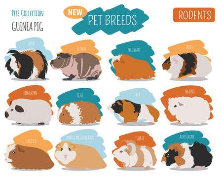 Cochon d'Inde races jeu plat style isolé sur blanc. Collection de rongeurs d'animaux. Créez votre propre infographie sur les animaux de compagnie. Illustration vectorielle