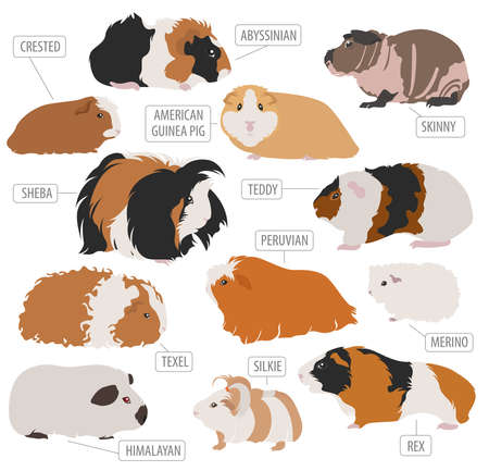 Guinea Pig Rassen Icon Set flache Stil isoliert auf weiß. Haustier Nagetiere Sammlung. Erstellen Sie eigene Infografik über Haustiere. Vektor-Illustration