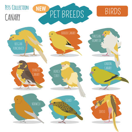 Canary breeds icon set flat style isolated on white. Pet birds collection. Create own infographic about pets. Vector illustration Illustration
