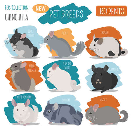 Chinchilla breeds icon set flat style isolated on white. Pet rodents collection. Create own infographic about pets. Vector illustration Illustration