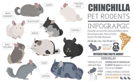 agouti: Chinchilla breeds icon set flat style isolated on white. Pet rodents collection. Create own infographic about pets. Vector illustration Illustration