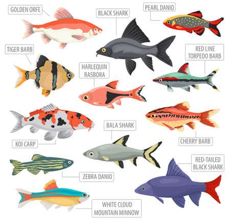 Freshwater aquarium fishes breeds icon set flat style isolated on white background. Cyprinids. Create own infographic about pets. Vector illustration. Imagens - 84921736