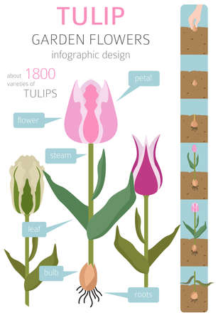 Tulip varieties flat icon set. Garden flower and house plants infographic. Vector illustration Illustration