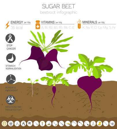 Beetroot beneficial features graphic template. Gardening, farming infographic, how it grows. Flat style design. Vector illustration