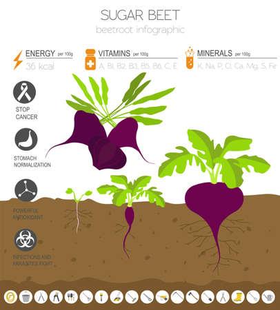 Rote Beete vorteilhafte Funktionen Grafikvorlage. Gartenarbeit, Landwirtschaft Infografik, wie es wächst. Flaches Design. Vektor-Illustration