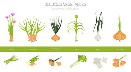 Knollengemüse, walisische Zwiebel, Zwiebel, Lauch, Schalotten, Knoblauch usw. Gartenarbeit, Landwirtschaft Infografik, wie es wächst. Flaches Design. Vektor-Illustration