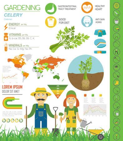 Sellerie vorteilhafte Funktionen Grafikvorlage. Gartenarbeit, Landwirtschaft Infografik, wie es wächst. Flaches Design. Vektor-Illustration
