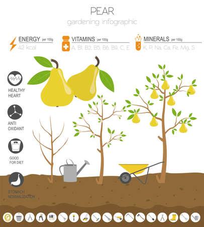 Pear vorteilhafte Funktionen Grafikvorlage. Gartenarbeit, Landwirtschaft Infografik, wie es wächst. Flaches Design. Vektor-Illustration