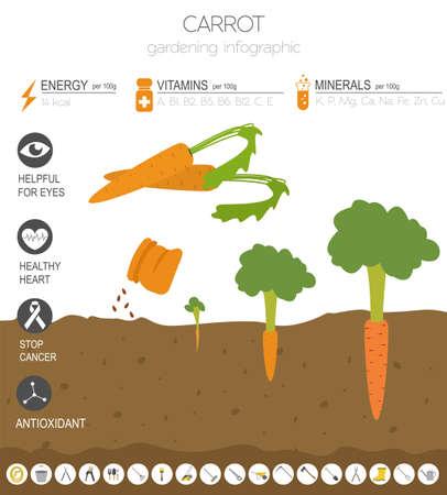 Karotte vorteilhafte Funktionen Grafikvorlage. Gartenarbeit, Landwirtschaft Infografik, wie es wächst. Flaches Design. Vektor-Illustration