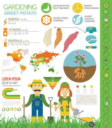Süßkartoffel vorteilhafte Funktionen Grafikvorlage. Gartenarbeit, Landwirtschaft Infografik, wie es wächst. Flaches Design. Vektor-Illustration Vektorgrafik