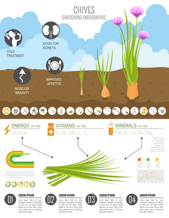 Chives onion beneficial features graphic template. Gardening, farming infographic, how it grows. Flat style design. Vector illustration