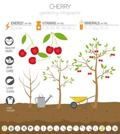 Cherry vorteilhafte Funktionen Grafikvorlage. Gartenarbeit, Landwirtschaft Infografik, wie es wächst. Flaches Design. Vektor-Illustration Vektorgrafik