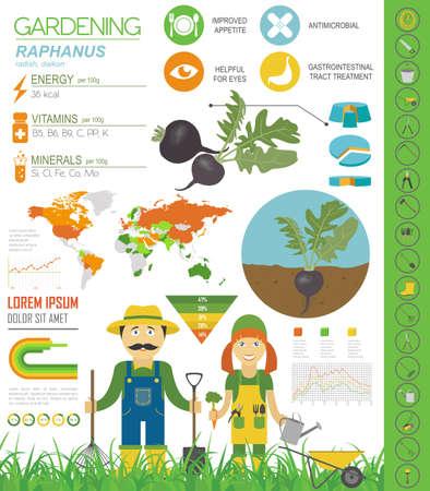 Raphanus vorteilhafte Funktionen Grafikvorlage. Gartenarbeit, Landwirtschaft Infografik, wie es wächst. Flaches Design. Vektor-Illustration