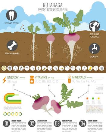 Rutabaga vorteilhafte Funktionen Grafikvorlage. Gartenarbeit, Landwirtschaft Infografik, wie es wächst. Flaches Design. Vektor-Illustration Vektorgrafik
