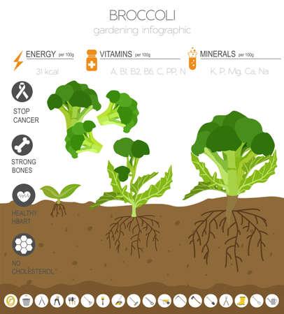 Brokkolikohl vorteilhafte Eigenschaften Grafikvorlage. Gartenarbeit, Landwirtschaft Infografik, wie es wächst. Flaches Design. Vektor-Illustration