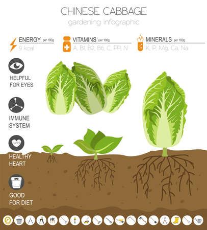 Chinese cabbage beneficial features graphic template. Gardening, farming infographic, how it grows. Flat style design. Vector illustration