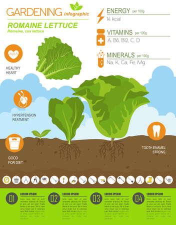 Romanie Salat vorteilhafte Eigenschaften Grafikvorlage. Gartenarbeit, Landwirtschaft Infografik, wie es wächst. Flaches Design. Vektor-Illustration