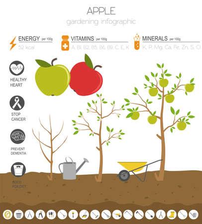 Apple vorteilhafte Funktionen Grafikvorlage. Gartenarbeit, Landwirtschaft Infografik, wie es wächst. Flaches Design. Vektor-Illustration