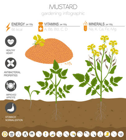 Mustard beneficial features graphic template. Gardening, farming infographic, how it grows. Flat style design. Vector illustration Vektorgrafik