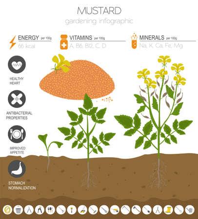 Senf vorteilhafte Funktionen Grafikvorlage. Gartenarbeit, Landwirtschaft Infografik, wie es wächst. Flaches Design. Vektor-Illustration Vektorgrafik